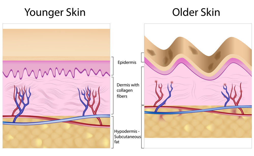 Diagram of young skin anatomy next to old skin anatomy characterized by wrinkles